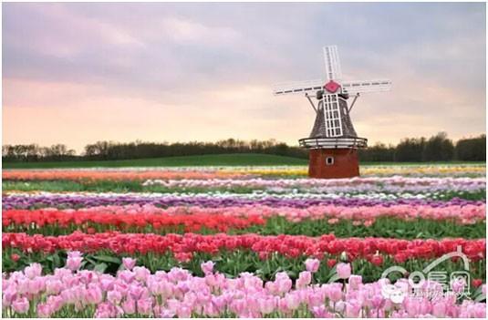 荷兰风车乐五一,美艳花海醉西城!