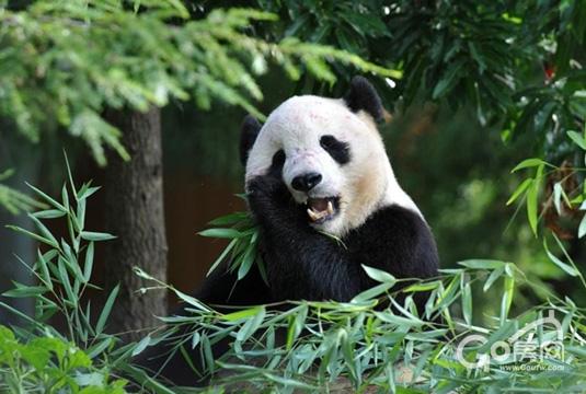 熊猫是国人的骄傲,也是世界上最可爱的动物之一